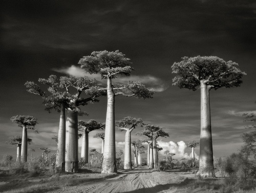Baobabs500x377